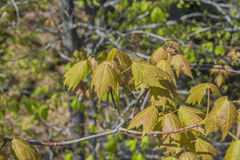 Maple Leaves Sprouting Out Royalty Free Stock Image