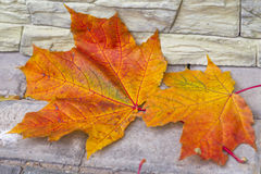 Maple leaves on the stone pavement. Bright yellow and orange lea Stock Image