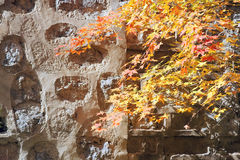 Maple leaves and stone wall Stock Photo