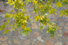 Maple Leaves and Stone Wall in Winter Stock Images
