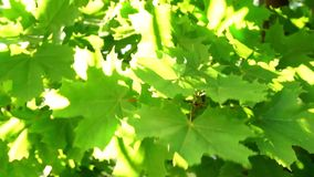 Maple leaves on summer breeze stock video footage
