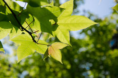 Maple leaves. In the summer park Royalty Free Stock Photos