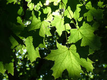 Maple leaves in sunlight Royalty Free Stock Photo