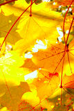 Maple leaves and sunlight Stock Photo