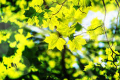Maple leaves in sunlight Stock Images