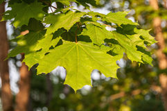 Maple leaves sunlight Stock Image