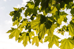 Maple leaves sunlight Stock Photo