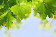 Maple leaves in the sunny blue sky, copy space Royalty Free Stock Photos