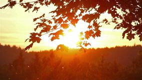 Maple leaves at sunset stock footage