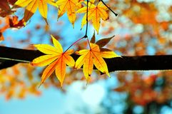 Maple leaves. In sunshine Stock Photo