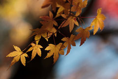 Maple leaves-1. Maple leaves with sunshine in fall Stock Photography
