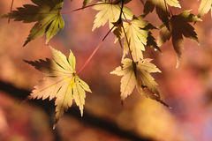 Maple leaves-2. Maple leaves with sunshine in fall Royalty Free Stock Photo