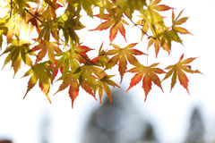 Maple leaves-3. Maple leaves with sunshine in fall Stock Photo