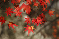 Maple leaves-4. Maple leaves with sunshine in fall Stock Photos