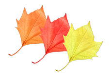 Maple leaves. Three maple leaves with different colors isolated on pure white background royalty free stock photo