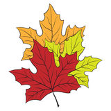 Maple leaves. Three maple leaves of different colors on a white background Royalty Free Stock Photos