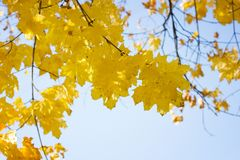 Maple leaves on the tree stock photos