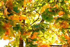 Maple leaves on the tree in autumn royalty free stock photos