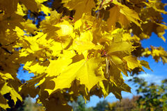 Maple leaves on a tree in autumn close up Royalty Free Stock Photos