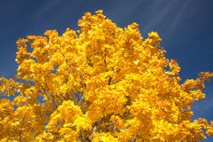 Maple leaves on a tree in autumn over blue sky Stock Image