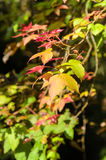 Maple leaves on tree Royalty Free Stock Photos
