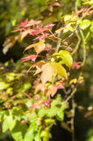 Maple leaves on tree Stock Images
