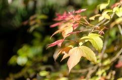 Maple leaves on tree Stock Image