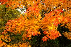 Maple leaves on trees in the forest in golden autumn close up. Many colorful maple leaves on trees in the forest on Indian summer closeup royalty free stock photography
