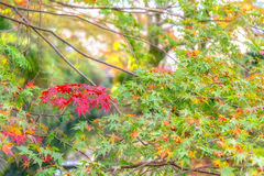 Maple leaves on the trees are turning to red Stock Image