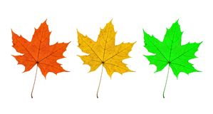 Maple Leaves Trio Stock Photography