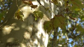 Maple leaves on the trunk of a large tree. In the wind stock video footage