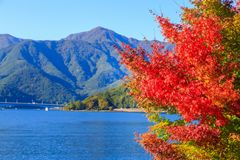 Red maple leaves in autumn at Kawaguchi lake, Kawaguchigo, Japan. Maple leaves turn red in autumn at Kawaguchi lake, Kawaguchigo, Japan royalty free stock photography