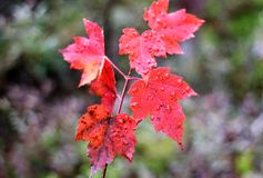 Autumn Red Royalty Free Stock Image
