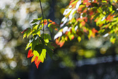 Maple Leaves Turning in Autumn Stock Photography