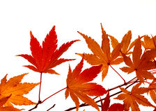 Maple leaves turning colour. Branch of small, feathery maple leaves beginning to turn color Royalty Free Stock Photo