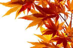 Maple leaves turning colour. Branch of small, feathery maple leaves beginning to turn color Royalty Free Stock Images
