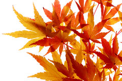 Maple leaves turning colour Royalty Free Stock Images