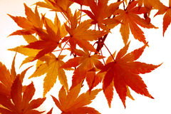 Maple leaves turning colour. Branch of small, feathery maple leaves beginning to turn color Royalty Free Stock Image