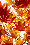 Maple leaves turning colour. Branch of small, feathery maple leaves beginning to turn color Stock Photography