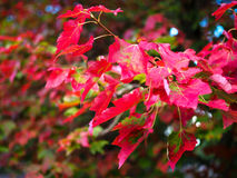 Maple Leaves Turning Red Royalty Free Stock Images