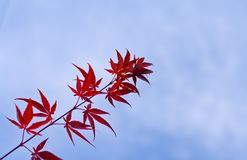 Maple leaves twig Royalty Free Stock Photo