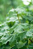 Maple leaves under rain Royalty Free Stock Image