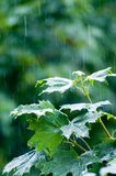 Maple leaves under rain Stock Photography
