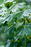 Maple leaves under rain Stock Photos