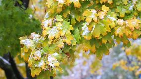 Maple leaves under snowfall. Yellow maple leaves under autumn snowfall stock video
