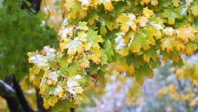 Maple leaves under snowfall stock video