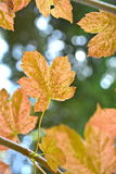 MAPLE LEAVES. THE UNDERSIDE OF MAPLE TREE LEAVES Royalty Free Stock Photography