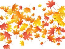 Maple leaves vector background, autumn foliage on white graphic design. Canadian symbol maple red orange yellow dry autumn leaves. Chic tree foliage vector royalty free stock photos