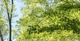 Maple leaves. View of maple leaves in forest of Kyoto, Japan Stock Photography
