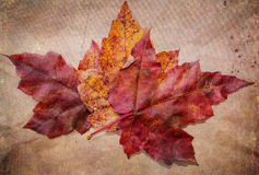 Maple Leaves with vintage texture Royalty Free Stock Photos